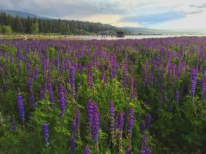 Lupine fields at the Gatekeeper's Museum in North Lake Tahoe